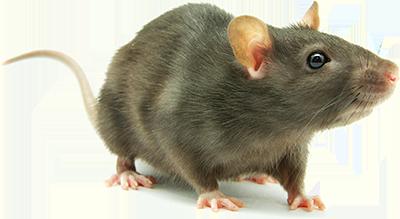 River city malone rattus rattus malone s rat plague - Plaque plastique transparent brico depot ...